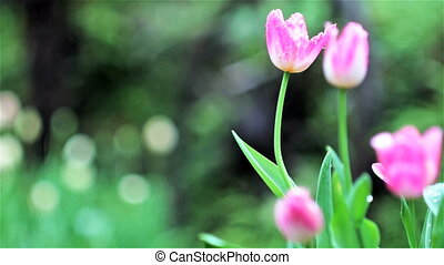 Beautiful tulip with bokeh for adv or others purpose use