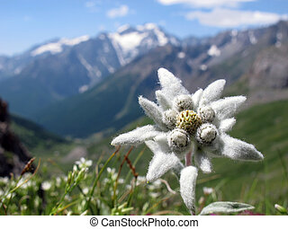 Edelweiss - Lovely flower , so rarely seen in french alps ;...