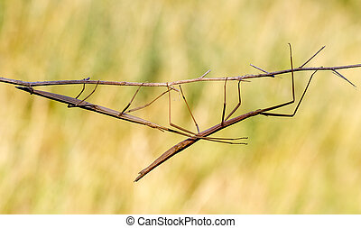Walking stick, Diapheromera femorata, Phasmatodea - Walking...