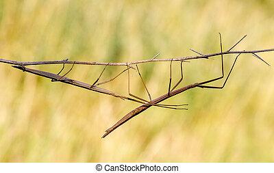 Walking stick, Diapheromera femorata, Phasmatodea - Walking...