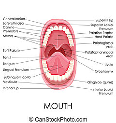 Anatomy of Human Mouth - vector illustration of diagram for...