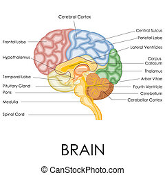 Human Brain Anatomy - vector illustration of diagram of...