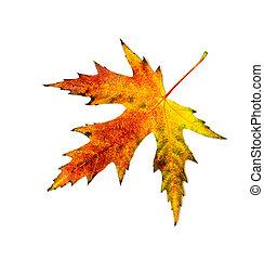 autumn  leav on white one