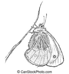 Small Heath Coenonympha pamphilus - Vector hand draw : Small...