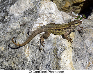 Curly Tailed Lizard Basking in the Sun on a Rock - Curly...