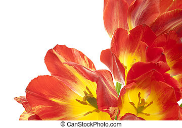 tulip - Studio Shot of Red and Yellow Colored Tulip Flowers...