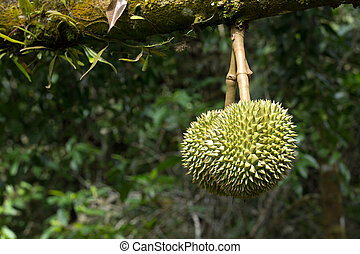 durian - Fresh durian in the orchard