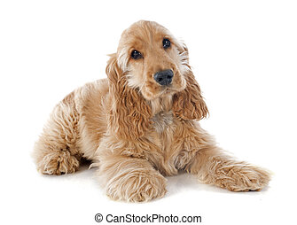 puppy cocker spaniel - portrait of a purebred puppy english...