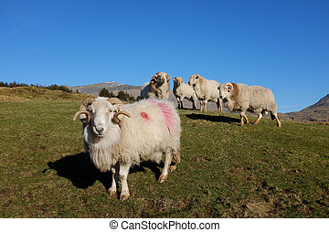Rams. - A group of rams in a green grass field with a blue...