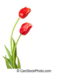 Bouquet of red tulips with green leaves isolated on white...