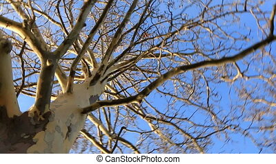 Old sycamore tree from below