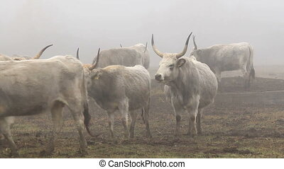 Hungarian grey cows in winter