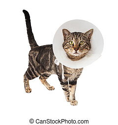 Cat wearing medical cone - A striped adult cat wearing a...