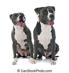 two american staffordshire terrierw - two american...