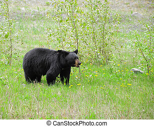 Black bear. - Black bear by Medicin lake. Jasper National...