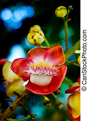 Shorea robusta - Close up Shorea robusta flower,Plants in...