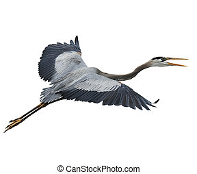 Great Blue Heron In Flight Isolated On White