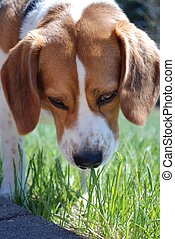 Tasting the weeds - Young Beagle tasting the weeds