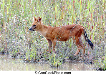 Dhole Asian wild dog Cuon alpinus