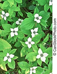 Dwarf bunchberry Cornus canadensis bloom in early June in...
