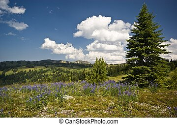 Alpine wildflower meadow vista - Alpine lupines are a common...
