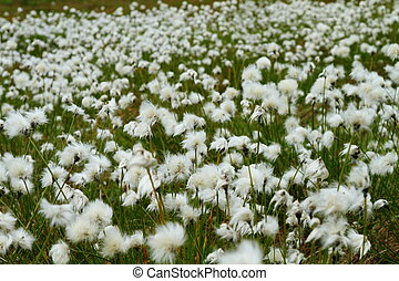 Cotton grass - Meadow of cotton grass blooming in summer