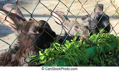 Black rabbits eating grass in an enclosure.