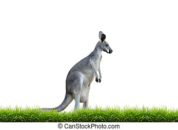 grey kangaroo with green grass isolated on white background
