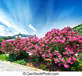 Oleander - Beautiful blooming pink oleander on a seafront