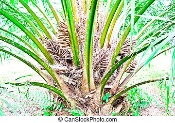 oil Palm tree and fruits branch in agriculture farm plantation