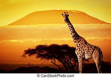 Giraffe on savanna. Mount Kilimanjaro at sunset in the...