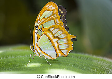 Malachite Butterfly resting on a large leaf in the forest