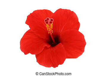 Hibiscus isolated flower on a white - Hibiscus isolated...