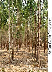 Eucalyptus forest in Thailand, plant for paper industry
