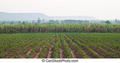 Cassava plant and Sugarcane plant in the morning,North...