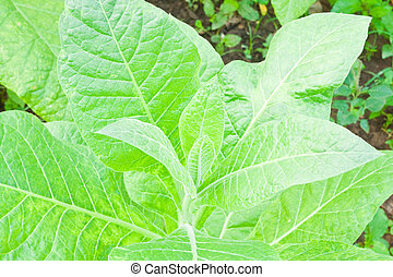 Tobacco leafs in a plant,North East,Thailand
