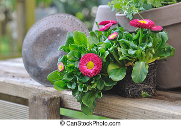 seedlings of pretty daisies - plants daisies on plank ready...
