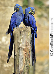 Two Hyacinth macaws