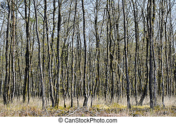 Tree trunks in the french forest