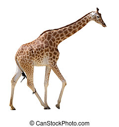 Isolated giraffe walking - Giraffe Giraffa camelopardalis...
