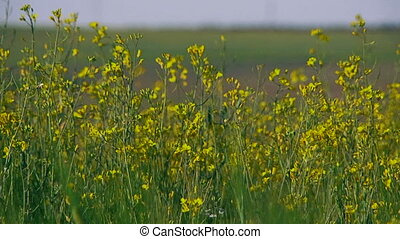 Raps which is used in diesel fuel - There is a meadow where...