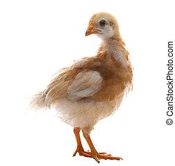 關閉, 向上, 年輕, 小雞, 布朗, 羽毛,...