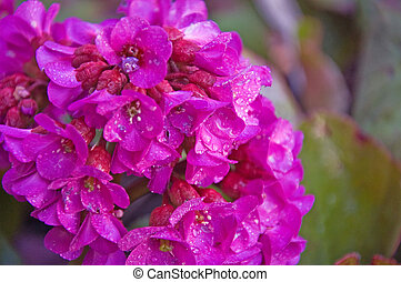 Magenta Bergenia Flower with Raindrops - Photo of the...