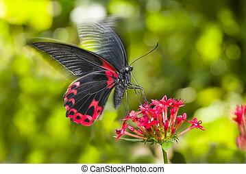 Scarlet Mormon Butterfly - Scarlet Mormon butterfly landing...