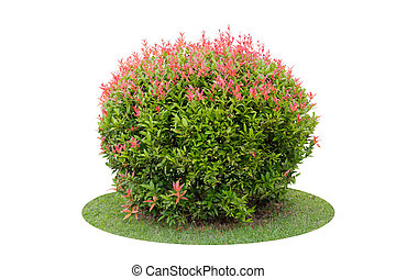 Colorful shrub of short Pigeon Berry tree isolated over...