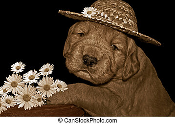My New Hat - Golden retriever pup with hat and daisies in...
