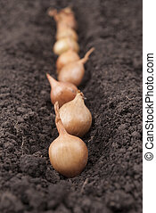 Spring onions in soil.
