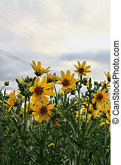 Roadside Flowers - Roadside yellow wildflowers in west Texas