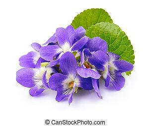 violettes, fleurs, Printemps, fleurs