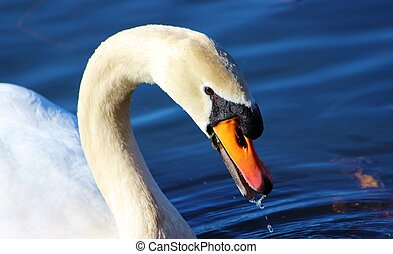Mute swan (Cygnus olor). - Close-up image of an adult Mute...